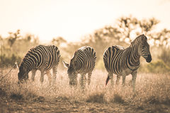 Herd of Zebras grazing in the bush. Wildlife Safari in the Kruger National Park, major travel destination in South Africa. Toned