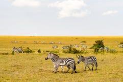 Herd of zebras grazing in the savannah of Maasai Mara. Park in Kenya Stock Image