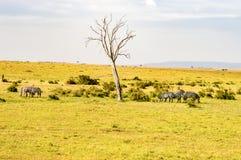 Herd of zebras grazing in the savannah of Maasai Mara Park. In Kenya Royalty Free Stock Photos