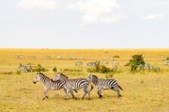 Herd of zebras grazing in the savannah of Maasai Mara Park. In Kenya Royalty Free Stock Image