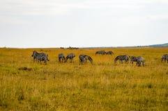Herd of zebras grazing in the savannah. Of Maasai Mara Park in Kenya Royalty Free Stock Photos