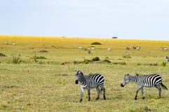 Herd of zebras grazing in the savannah. Of Maasai Mara Park in Kenya Stock Photos