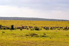 Herd of zebras grazing in the savannah. Of Maasai Mara Park in Kenya Royalty Free Stock Photo