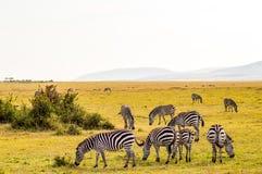 Herd of zebras grazing in the savannah of Maasai Mara. Park in Kenya Royalty Free Stock Images