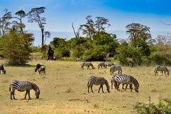 Herd of zebras grazing Stock Images