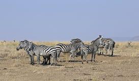 Herd of zebras Stock Image