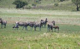 Herd of zebras in Africa stock images
