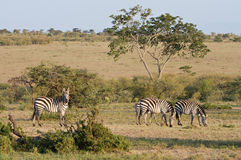 Herd of Zebras in the Masai Mara Game Reserve Royalty Free Stock Images