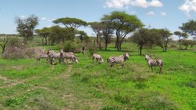 Herd of zebras migration in Ndutu. Great annual migration of a herd of plain zebras grazing in Ndutu Area of Ngorongoro of Tanzania in Africa. Plains zebra, or stock video