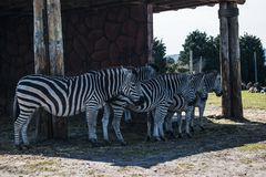 A herd of zebras next to each other. A group of zebras they are all next to each other in a line facing the same direction it is very pleasing! the composition stock photo