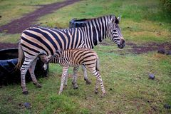 Herd of zebras and ostrich in the wild in park royalty free stock images
