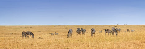 Herd of zebras Royalty Free Stock Image