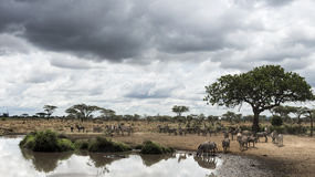 Herd of zebras resting by a river, Serengeti, Tanzania Royalty Free Stock Image