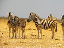 A herd of zebras on the savannah Stock Photos