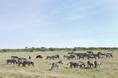 Herd of zebras in Savannah Stock Images