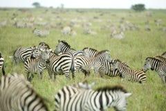 Herd of zebras in the serengeti plain Stock Photography