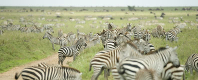 Herd of zebras in the serengeti plain Royalty Free Stock Photos