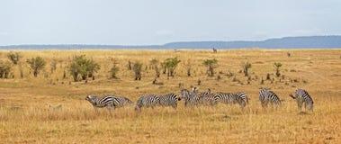 Herd of zebras Royalty Free Stock Images