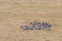 Herd of zebras Royalty Free Stock Photography