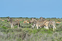 Herd of zebras and springbook Royalty Free Stock Photos