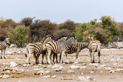 A herd of zebras standing in savannah royalty free stock photography