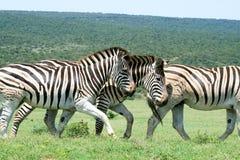 Herd of zebras Stock Images