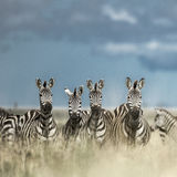 Herd of zebras in the wild savannah, Serengeti, Africa Royalty Free Stock Photography