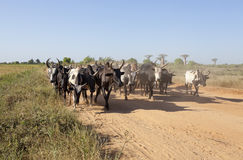 Herd of zebu Stock Photography
