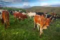 Herd Royalty Free Stock Image