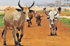 Herd of zebus Royalty Free Stock Photo