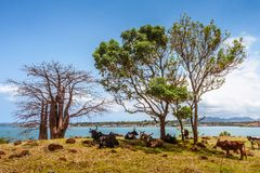 Herd of zebus. On the banks the Antsiranana bay, north of Madagascar royalty free stock photos