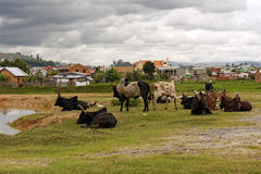 Herd of zebus Stock Photography
