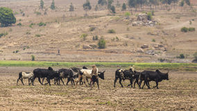 Herd of zebus in Madagascar Stock Photography