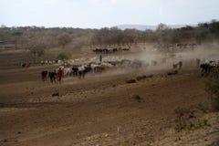 Herdar av kor i Tanzania arkivbilder