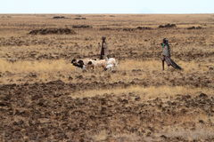 Herdar och får i Kenya Arkivbild