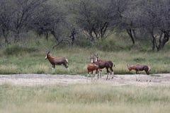 Herde afrikanischen Antilopen blesbok in der Savanne Bubaline Antilope Stockbild