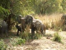 Herde der afrikanischen Elefanten Stockfotografie