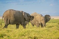 Herde der afrikanischen Elefanten Lizenzfreies Stockfoto