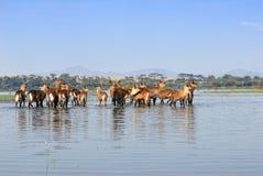 Herde der Antilopen Waterbuck im Wasser stockbild