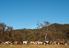 Herde der australischen Mastvieh mit blauem Himmel Lizenzfreie Stockfotografie