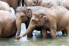 Herde der Elefanten im Fluss Lizenzfreies Stockfoto