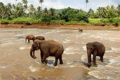 Herde der Elefanten im Fluss Stockbilder