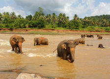 Herde der Elefanten im Fluss Lizenzfreies Stockbild