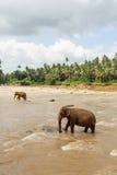 Herde der Elefanten im Fluss Lizenzfreie Stockfotografie