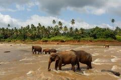 Herde der Elefanten im Fluss Lizenzfreie Stockbilder