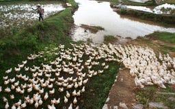Herde der Ente laufend auf Bauernhof Lizenzfreies Stockbild