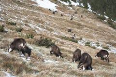 Herde der Gebirgsziegen in ihrem natürlichen Lebensraum Lizenzfreie Stockfotos