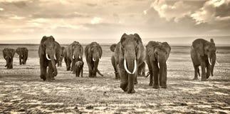 Herde der gehenden Gruppe der Elefanten auf der afrikanischen Savanne am Fotografen lizenzfreie stockfotografie