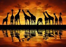Herde der Giraffen lizenzfreie abbildung