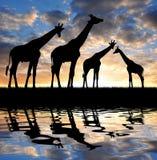 Herde der Giraffen stock abbildung